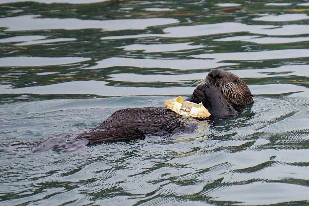 Urchins and Kelp Forests on the West Coast of North ... |Sea Otters Eating Bears