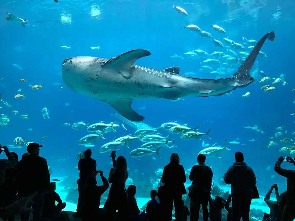 Indoor Oceans: Diving with Whale Sharks at Georgia ...